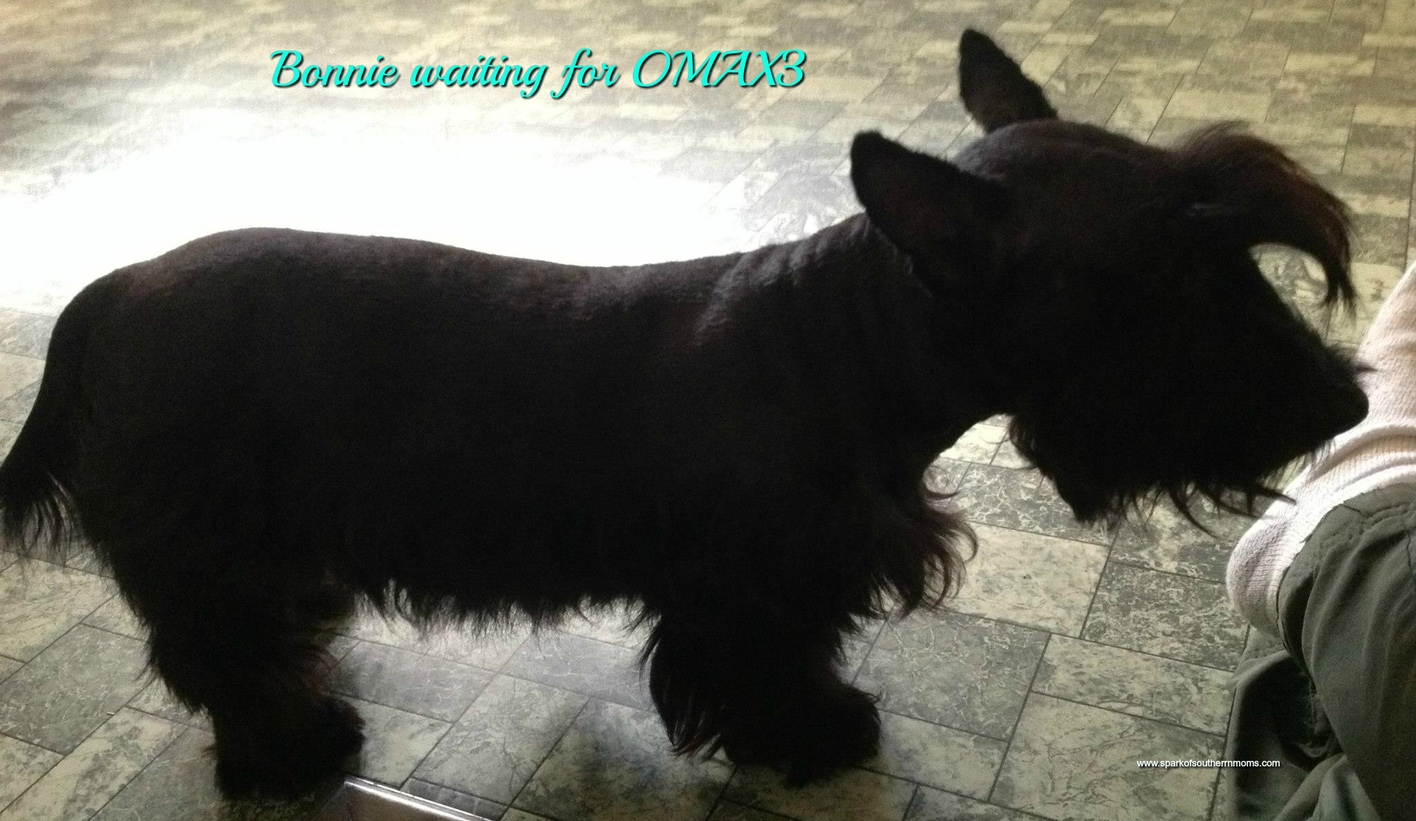 OMAX: Omega 3Fish Oil for Dogs: Bonnie waiting on her OMAX treat!